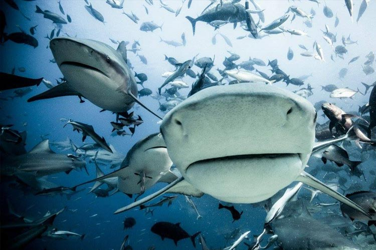 Sharks are important to our marine ecosystems