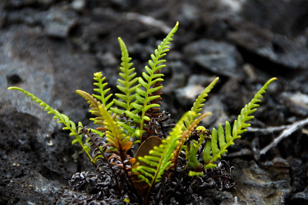 See the start of Volcanic Plant Life