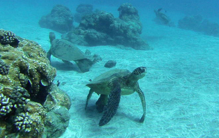 Green Sea Turtles want to join the fun
