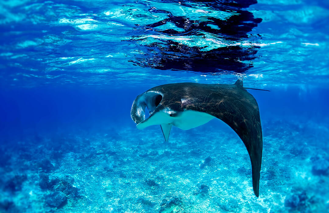 Manta Ray in Shallow Water